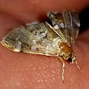 Spotted beetworm moth