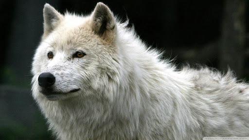 White Wolf Pack 2 Wallpaper