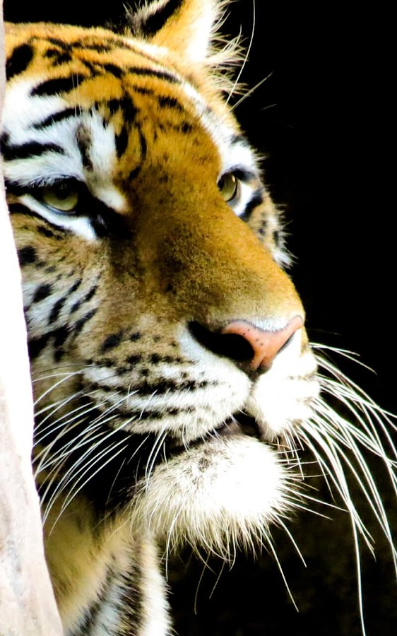 tigers live wallpaper android apps on google play