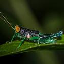 Psiloscirtus Grasshopper