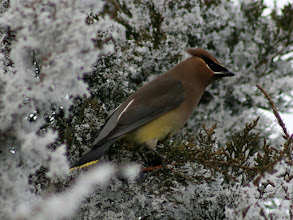 Photo: A Cedar Waxwing for #BirdPoker : Winter Birds curated by +Phil Armishaw  These guys look a lot like their Bohemian cousins. Cedars have yellow underparts and white undertail coverts. They both eat juniper berries. Our backyard is a popular stop for them since we have a row or very large junipers filled with berries. I didn't have the greatest light for this shot, unfortunately.