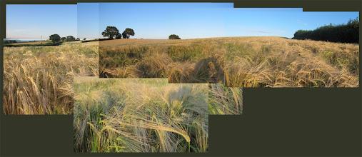 Photo: Corn field (Combe Hill)