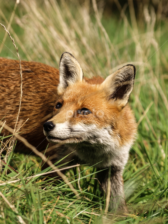 Red fox by Garry Chisholm - Animals Other Mammals ( canine, garry chisholm, nature, wildlife, red fox )