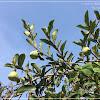 Ficus pumila 薛茘(白色-涼粉果)