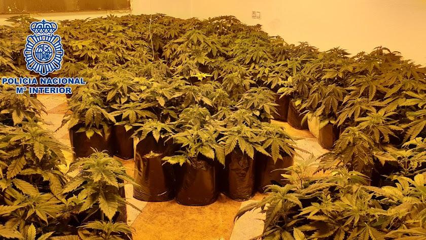 Plantas de marihuana encontradas por la Policía Nacional en los registros