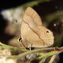 Euselasia butterfly