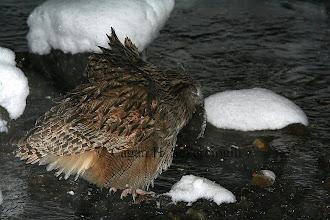 Photo: Blakiston's Fishing-owl