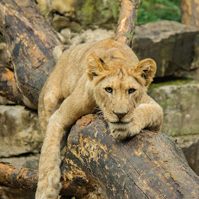 Lazy Lion by Patricia Konyha - Animals Lions, Tigers & Big Cats ( lion, cat, tiger, 2015, omaha convention, henry dorely zoo )