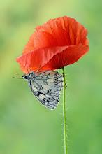 Photo: Melanargia Galathea, Demi-Deuil, Marbled White http://lepidoptera-butterflies.blogspot.fr/