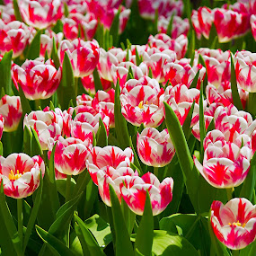 Tulips by Kwoh LK - Flowers Flower Gardens