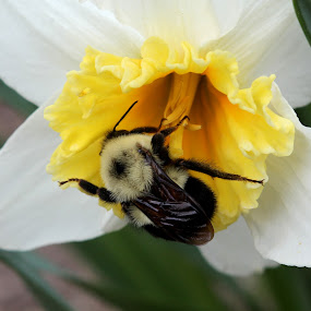 bumble bee by Lina Turoci - Animals Insects & Spiders ( bumble bee, summer, spring, flower )