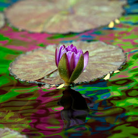 Colorful Lily  by John CHIMON - Nature Up Close Flowers - 2011-2013 ( water, lily, nature, color, colors, beautiful, chicago, flowers, lilie, flower )