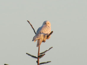 Photo: Snowy owl 3 of 3 -- south jetty on the Columbia River. 1/19/2013