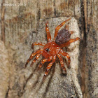 Cork-lid trapdoor spiders