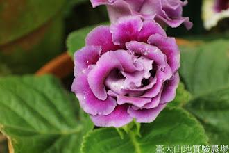 Photo: 拍攝地點: 梅峰-溫帶花卉區 拍攝植物: 大岩桐 拍攝日期: 2015_07_29_FY