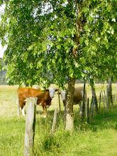 Photo: Wolwenweide - Rinder von der Au - 1.7.07