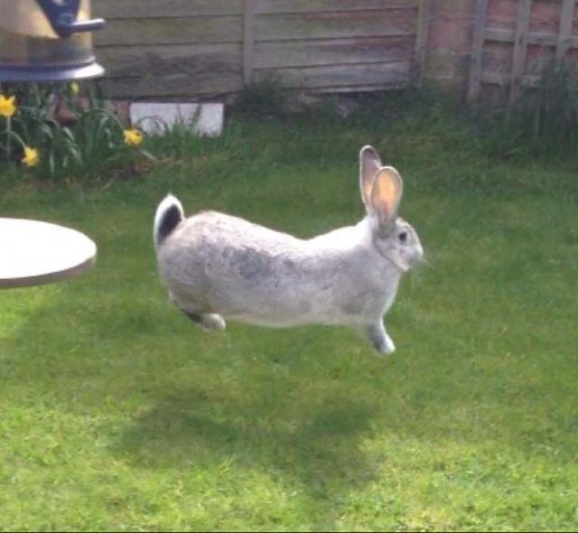 Image result for british giant rabbit