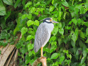 Photo: Yellow-crowned Night Heron