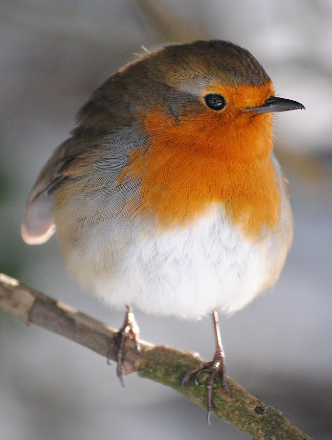 Robin on a Branch by Dorothy Thomson - Animals Birds ( scotland, robin, edinburgh, nature, birds,  )