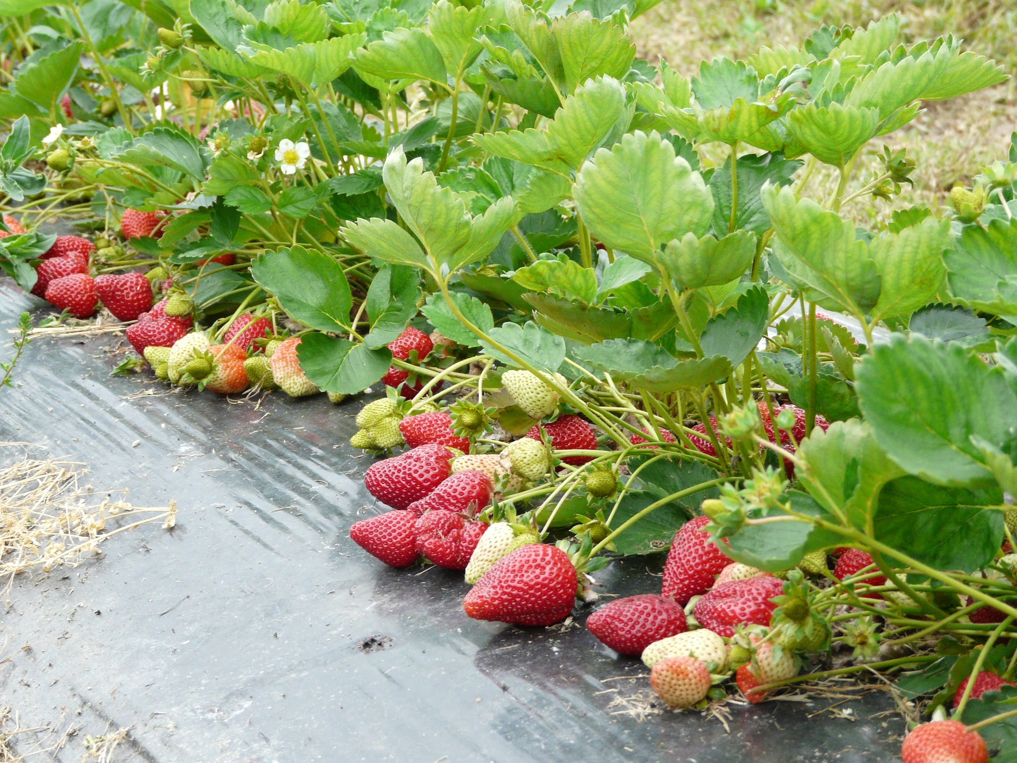 Photo: Abondance de fraises