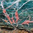 Chlorociboria-Infected Wood with Rhizomorphs