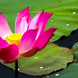The exotic aquatic flower, the Sacred Lotus. by Jamaluddin Abdul Jalil - Flowers Flowers in the Wild ( ponds, landscaping aquatic plant, edible lotus roots, nelumbo nucifera, flower, herbs, sacred lotus, aquatic plant, flowers in the wild, lakes, lotus seeds, freshwater plnt, edible lotus seeds )