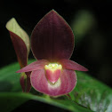 Hook-Shaped Tongue Pleurothallis
