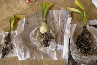 Photo: Balíček dceřiných cibulek od komule právě dorazil 2011-říjen Green Godess, Ambiance, Evergreen