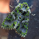 Noctuid Moth