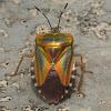 Mattiphus Shield Bug or Tessaratomid