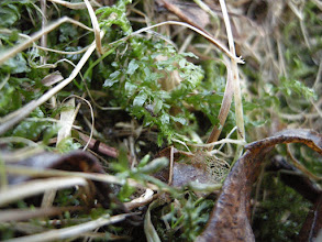 Photo: http://www.bbsfieldguide.org.uk/content/plagiomnium-affine Plagiomnium affine