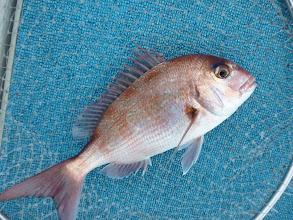 Photo: 真鯛キャッチ。