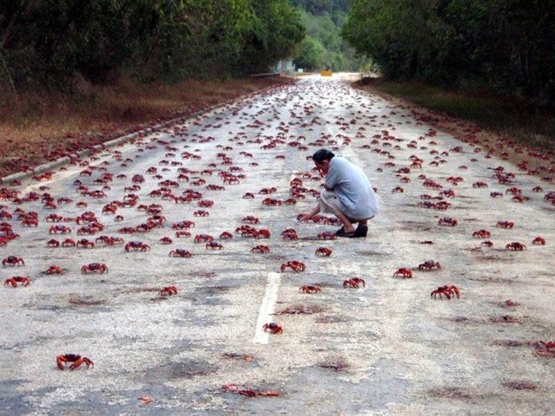 A saga dos caranguejos vermelhos