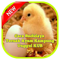 Cara Ternak Ayam Kampung Unggul KUB icon