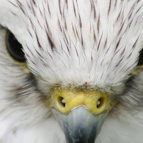Whitebird by Andy Pitt - Animals Birds ( bird, detail, unedited, falcon, close up )