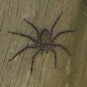 Aranha Chata - Flat Spider