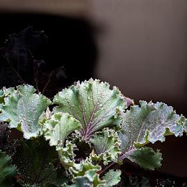 Kale by Gunbir Singh - Nature Up Close Natural Waterdrops ( green leaves, kale, nature up close, dew drops, gunbir, light )