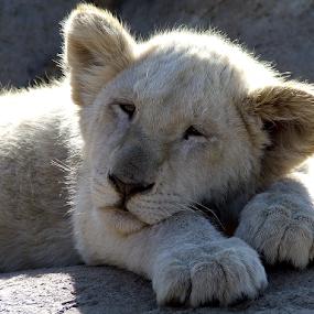 Don't disturb me please! by Stephen McKibbin - Animals Other ( lion, cub )