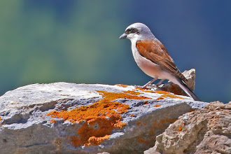 Photo: Red-backed Shrike