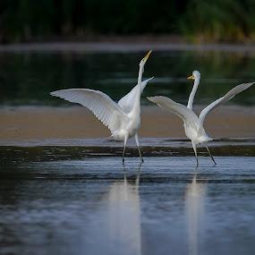 Egretthäger by Michael Pelz - Animals Birds