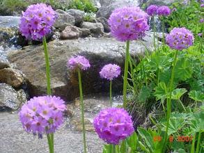 Photo: Bu Primula türü bir daha açmayacaktır.