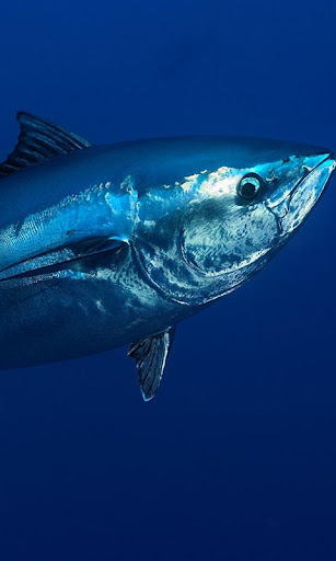 Tuna Wallpaper by lucas17 (Google Play, United States) - SearchMan App Data & Information