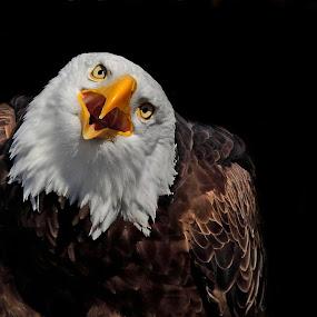 I'm Talkin' to You by Pam Mullins - Animals Birds ( bird, canada, nature, bald eagle, wildlife, raptor,  )