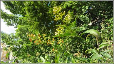 """Photo: Lemn câinesc (Ligustrum vulgare) - """"flori surori"""" - o fotografie ce-mi este favorita - de pe Calea Victoriei, alee Mr.2 - 2017.06.07"""