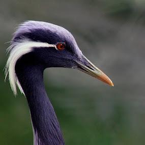 by Ghazan Joyia - Animals Birds (  )