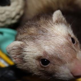 azzazel by Matthew Donathan - Animals Other Mammals ( ferret azazzel cannon dslr portraits )