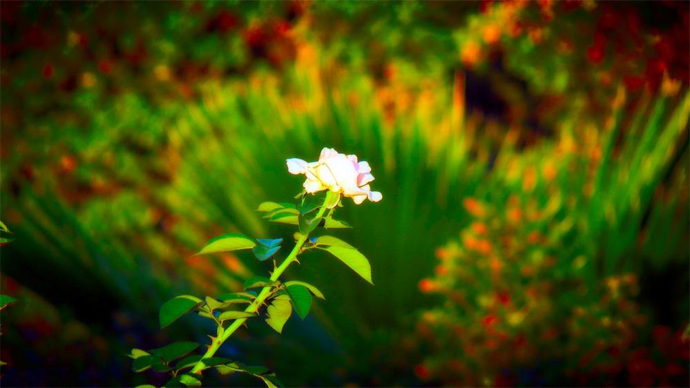 Last Rose Palm Back-improved.jpg