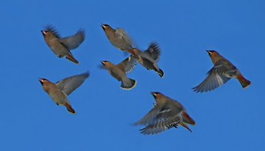 Photo: Another, and probably my last this week for #FlybyFriday curated by +Meg Rousher  A group of Bohemian Waxwings take off after eating snow on my roof. Have a great weekend everyone!