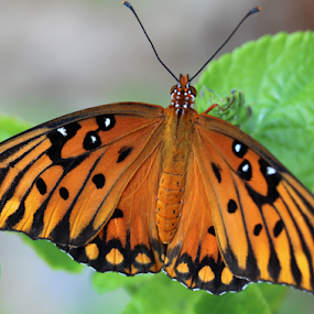 Spring time butterfly by Paul S. DeGarmo - Animals Insects & Spiders ( spring, orange, color, butterfly, time,  )