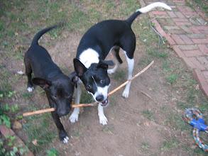 Photo: dog battle..margot v. lily